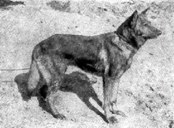 Horand von Grafrath - First German Shepherd Dog